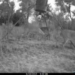 guided whitetail deer hunting - feeding